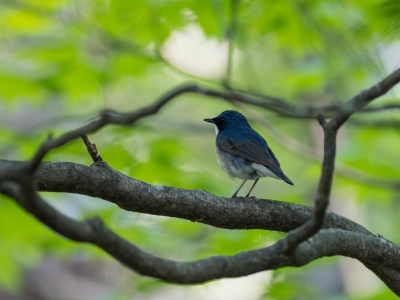soku_36561.jpg :: 動物 鳥 野鳥 自然の鳥 コルリ
