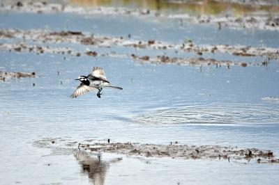 soku_36563.jpg :: 動物 鳥 野鳥 自然の鳥 ハクセキレイ