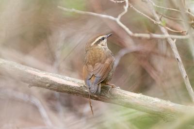 soku_36564.jpg :: 動物 鳥 野鳥 自然の鳥 ヤブサメ
