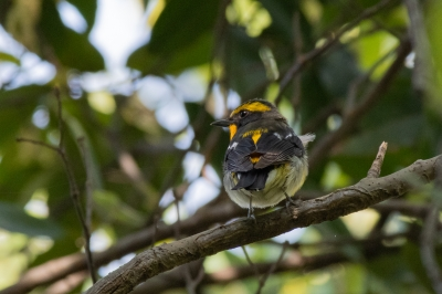 soku_36565.jpg :: 動物 鳥 野鳥 自然の鳥 キビタキ