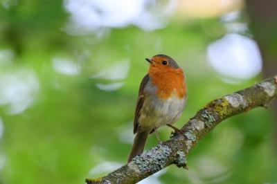 soku_36566.jpg :: 動物 鳥 野鳥 自然の鳥 ヨーロッパコマドリ