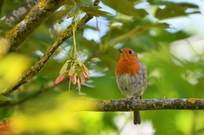 soku_36567.jpg :: 動物 鳥 野鳥 自然の鳥 ヨーロッパコマドリ