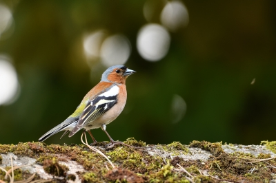 soku_36569.jpg :: 動物 鳥 野鳥 自然の鳥 ズアオアトリ