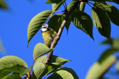 soku_36570.jpg :: 動物 鳥 野鳥 自然の鳥 アオガラ