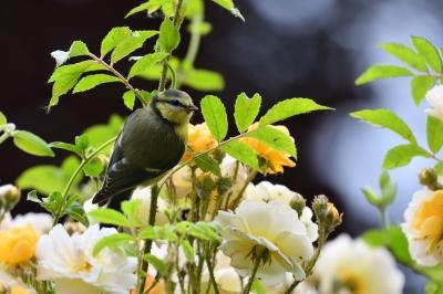 soku_36571.jpg :: 動物 鳥 野鳥 自然の鳥 アオガラ