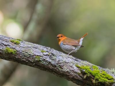 soku_36577.jpg :: 動物 鳥 野鳥 自然の鳥 コマドリ