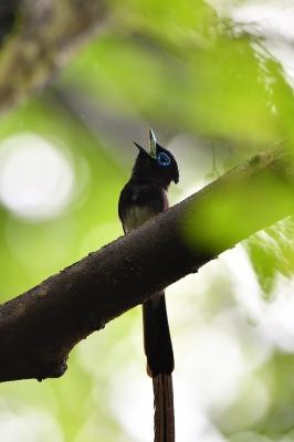 soku_36581.jpg :: 動物 鳥 野鳥 自然の鳥 サンコウチョウ