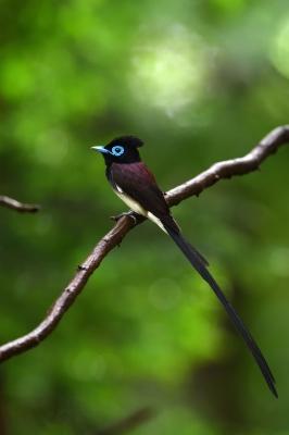 soku_36588.jpg :: 動物 鳥 野鳥 自然の鳥 サンコウチョウ