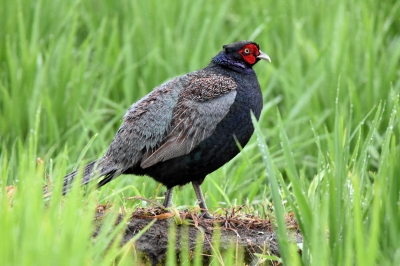 soku_36593.jpg :: 自然の鳥 キジ