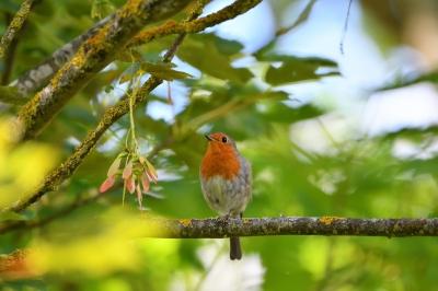 soku_36594.jpg :: 動物 鳥 野鳥 自然の鳥 ヨーロッパコマドリ