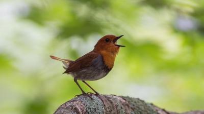 soku_36605.jpg :: 動物 鳥 野鳥 自然の鳥 コマドリ