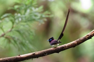 soku_36608.jpg :: 動物 鳥 野鳥 自然の鳥 サンコウチョウ