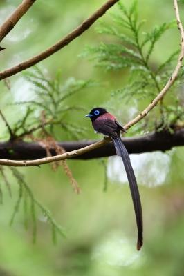 soku_36610.jpg :: 動物 鳥 野鳥 自然の鳥 サンコウチョウ