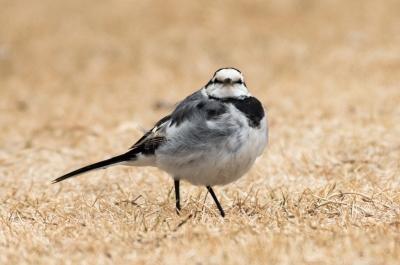 soku_36611.jpg :: 動物 鳥 野鳥 自然の鳥 ハクセキレイ