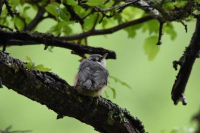 soku_36614.jpg :: 動物 鳥 野鳥 自然の鳥 ゴジュウカラ