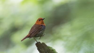 soku_36620.jpg :: 動物 鳥 野鳥 自然の鳥 コマドリ