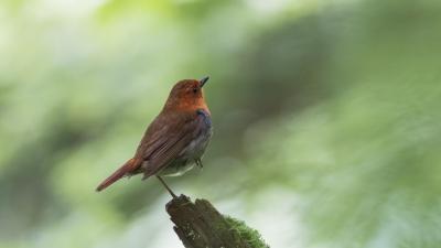 soku_36621.jpg :: 動物 鳥 野鳥 自然の鳥 コマドリ