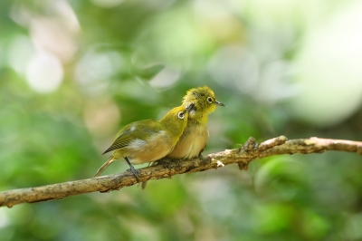 soku_36627.jpg :: 動物 鳥 野鳥 自然の鳥 メジロ