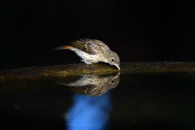 soku_36629.jpg :: 動物 鳥 野鳥 自然の鳥 キビタキ幼鳥