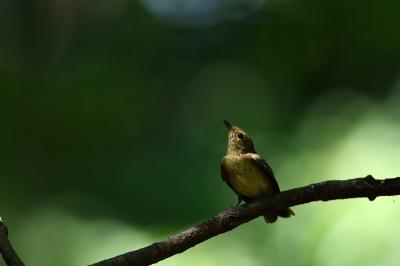 soku_36630.jpg :: 動物 鳥 野鳥 自然の鳥 キビタキ♀