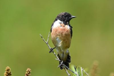soku_36636.jpg :: 自然の鳥 野鳥 ノビタキ オス 夏羽