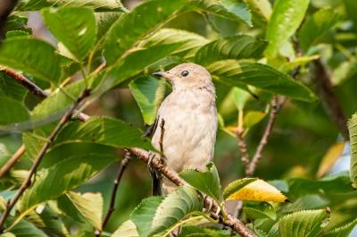 soku_36646.jpg :: 動物 鳥 野鳥 自然の鳥 コムクドリ