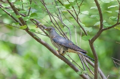 soku_36650.jpg :: 動物 鳥 野鳥 自然の鳥 ツツドリ