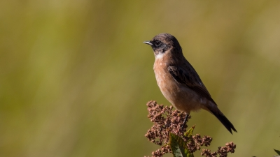 soku_36653.jpg :: 動物 鳥 野鳥 自然の鳥 ノビタキ