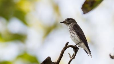 soku_36655.jpg :: 動物 鳥 野鳥 自然の鳥 エゾビタキ