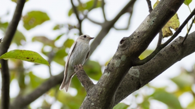 soku_36656.jpg :: 動物 鳥 野鳥 自然の鳥 エゾビタキ