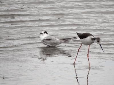 soku_36658.jpg :: 動物 鳥 野鳥 自然の鳥 クロハラアジサシ&セイタカシギ
