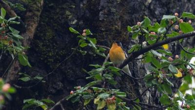 soku_36660.jpg :: 動物 鳥 野鳥 自然の鳥 ムギマキ