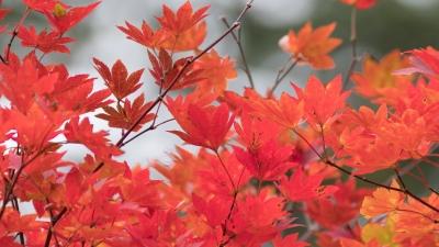 soku_36661.jpg :: 風景 自然 紅葉