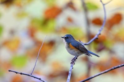 soku_36676.jpg :: 動物 鳥 野鳥 自然の鳥 ルリビタキ