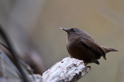 soku_36679.jpg :: 動物 鳥 野鳥 自然の鳥 ミソサザイ