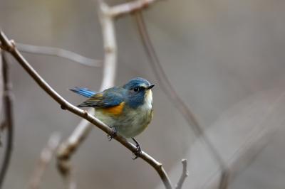 soku_36680.jpg :: 動物 鳥 野鳥 自然の鳥 ルリビタキ