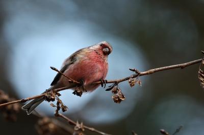 soku_36681.jpg :: 動物 鳥 野鳥 自然の鳥 ベニマシコ