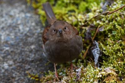 soku_36682.jpg :: 動物 鳥 野鳥 自然の鳥 カヤクグリ
