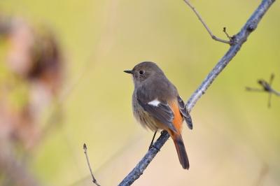 soku_36683.jpg :: 動物 鳥 野鳥 自然の鳥 ジョウビタキ