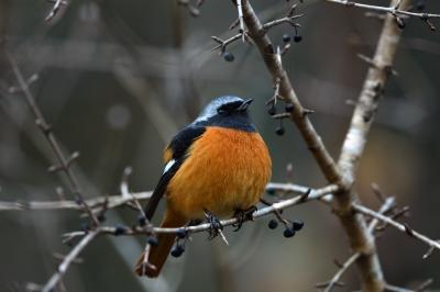 soku_36684.jpg :: 動物 鳥 野鳥 自然の鳥 ジョウビタキ