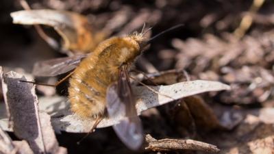 soku_36690.jpg :: 動物 虫 昆虫 アブ ビロードツリアブ