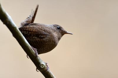 soku_36694.jpg :: 動物 鳥 野鳥 自然の鳥 ミソサザイ