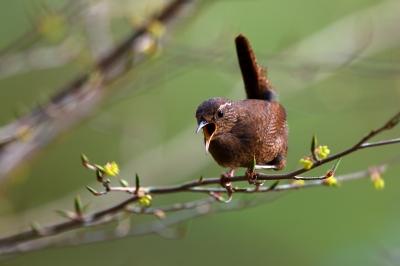 soku_36697.jpg :: 動物 鳥 野鳥 自然の鳥 ミソサザイ