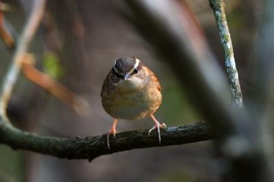 soku_36698.jpg :: 動物 鳥 野鳥 自然の鳥 ヤブサメ