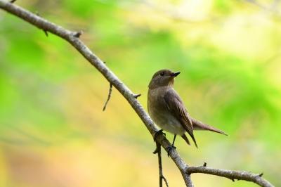 soku_36702.jpg :: 動物 鳥 野鳥 自然の鳥 オオルリ