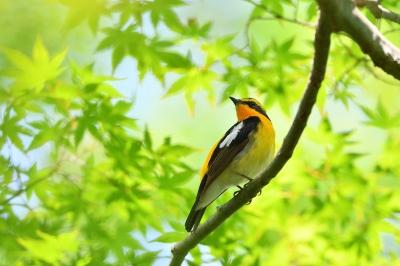 soku_36703.jpg :: 動物 鳥 野鳥 自然の鳥 キビタキ