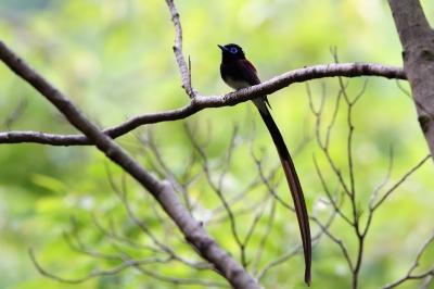 soku_36704.jpg :: 動物 鳥 野鳥 自然の鳥 サンコウチョウ
