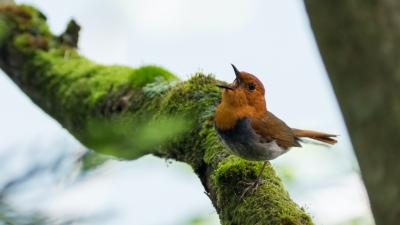 soku_36719.jpg :: 動物 鳥 野鳥 自然の鳥 コマドリ