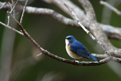 soku_36721.jpg :: 動物 鳥 野鳥 自然の鳥 ルリビタキ