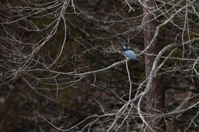 soku_36722.jpg :: 動物 鳥 野鳥 自然の鳥 ヤマセミ